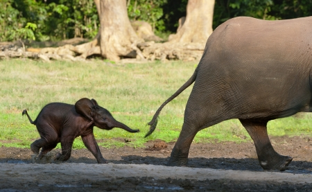 The small elephant calf runs for mum, trying to seize its tail .  Forest Elephant (Loxodonta africana cyclotis). Congo. Africa