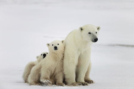 Polar she-bear with cubs  A Polar she-bear with two small bear cubs