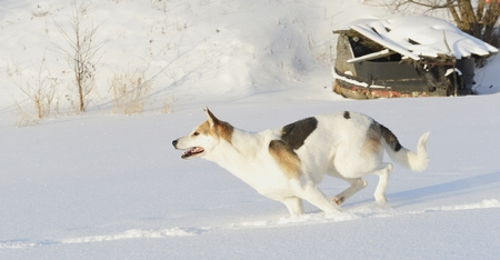 Husky quickly runs on snow