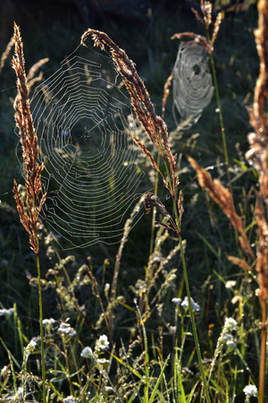 Spider web on a meadow in the rays of the rising sun.  Cobweb on the autumn meadow backlit by the rising sun.
