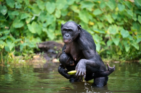 pan tropical: Bonobo  ( Pan paniscus) with cub in the water. At a short distance, close up. The Bonobo ( Pan paniscus),  called the pygmy chimpanzee. Democratic Republic of Congo. Africa