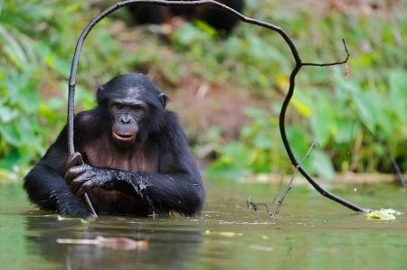 bonobo: Bonobo en el agua con la rama A corta distancia, de cerca El Bonobo paniscus Pan, llamado chimpanc� pigmeo Rep�blica Democr�tica del Congo de �frica Foto de archivo