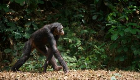 bonobo: Caminando Bonobo Pan paniscus retrato A corta distancia, de cerca
