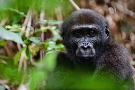 Portrait of a western lowland gorilla  Gorilla gorilla gorilla  close up at a short distance   Republic of Congo  Africa photo