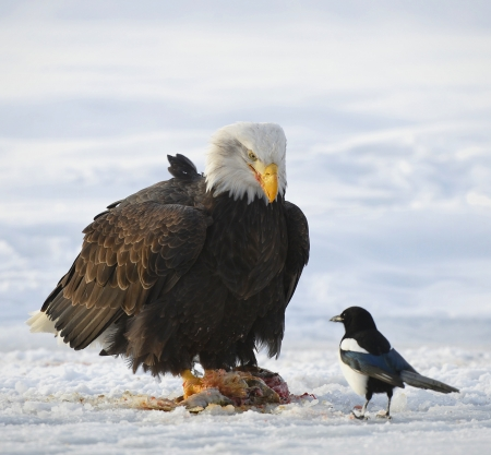 The Bald eagle    Haliaeetus leucocephalus   sits on snow and eats a salmon  Nearby magpie  Alaska photo