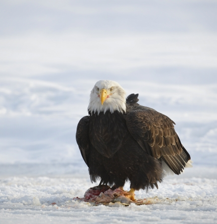 The Bald eagle    Haliaeetus leucocephalus   sits on snow and eats a salmon   Alaska photo