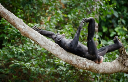 bonobo: The laughing Bonobo on a tree branch. Democratic Republic of Congo. Africa