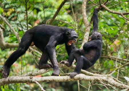 pan paniscus: The Swearing and Aggressive Bonobo ( Pan paniscus) . Democratic Republic of Congo. Africa   Stock Photo