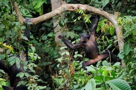 bonobo: Bonobo sobre una rama de �rbol. Rep�blica Democr�tica del Congo. �frica