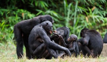 The Bonobo ( Pan paniscus) family, called the pygmy chimpanzee. Democratic Republic of Congo. Africa