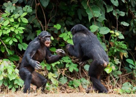 pan paniscus: Fighting Bonobos ( Pan paniscus). At a short distance, close up. The Bonobo ( Pan paniscus), called the pygmy chimpanzee. Democratic Republic of Congo. Africa