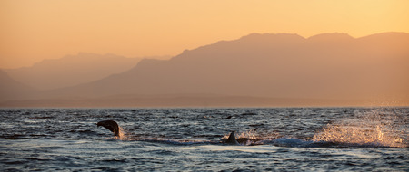 aggressiveness: Great White Shark (Carcharodon carcharias) attacks a seal with splashes. Early Morning, sunrise