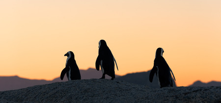 jackass: African penguins  at sunset near Cape Town, South Africa  The African Penguin  Spheniscus demersus , also known as the Jackass Penguin and Black-footed Penguin