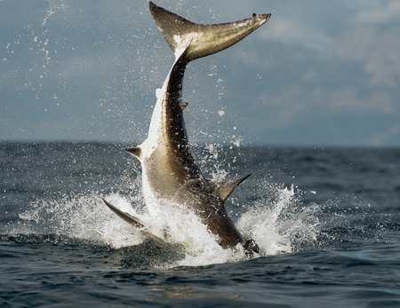 single fin: Jumping Great White Shark  Tail of the jumped-out white shark  Carcharodon carcharias