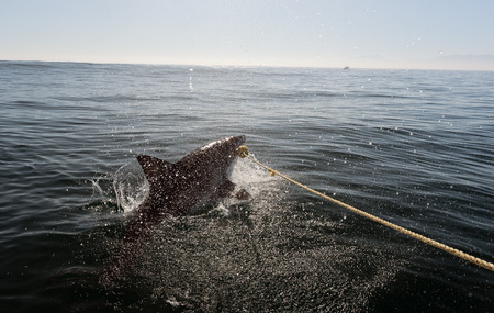 Great white shark  attack photo