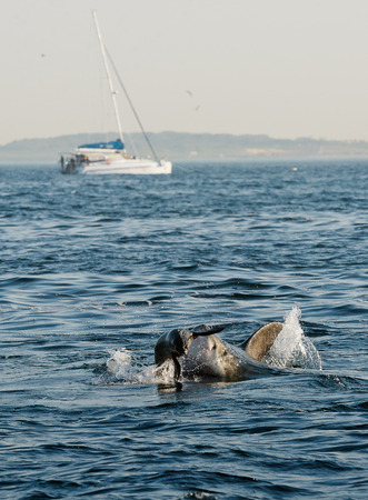 aggressiveness: Great White Shark (Carcharodon carcharias) attacks a seal with splashes