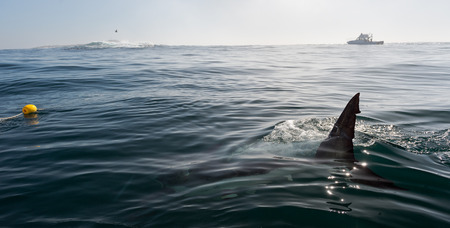 Fin of a Great White Shark in water 写真素材
