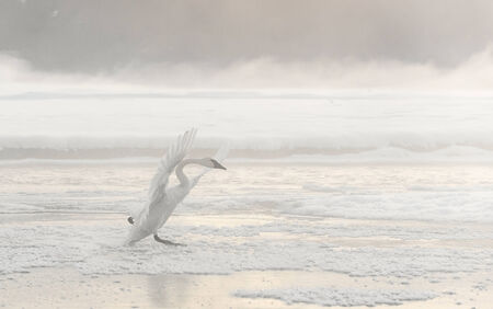 cygnus buccinator: Bewicks Swan or Tundra Swan - Cygnus bewickii.