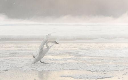 tundra swan: Cisne de Bewick o Tundra Swan - Cygnus bewickii.
