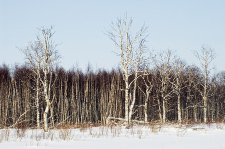 birchwood: Birchwood in the winter  Russia Islands in Ladoga Lake  Stock Photo