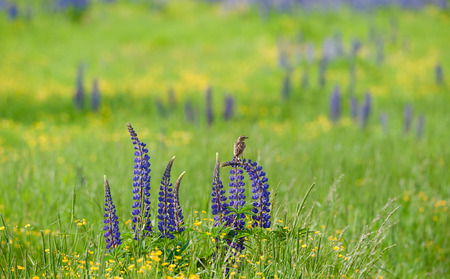 The bird sits on a lupin flower on a summer meadow photo