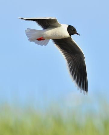 black headed: A Black headed Gull on flying  Larus ridibundus  Stock Photo
