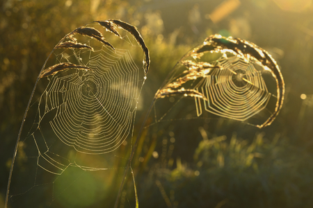 cobweb: Spider web on a meadow in the rays of the rising sun   Cobweb on the autumn meadow backlit by the rising sun  Stock Photo