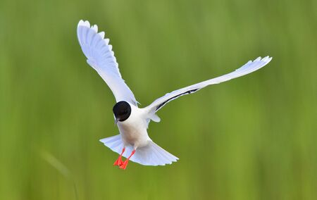 ridibundus: A Black headed Gull on flying  Larus ridibundus  Stock Photo