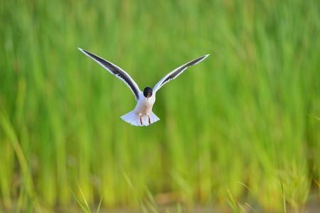 ridibundus: A Black headed Gull on flying.(Larus ridibundus) Stock Photo