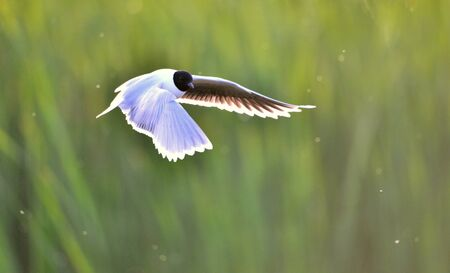 A Black headed Gull on flying.(Larus ridibundus) photo