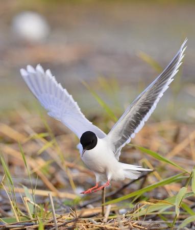 larus ridibundus: Black-headed Gull  Larus ridibundus   landed, having stretched wings   Stock Photo