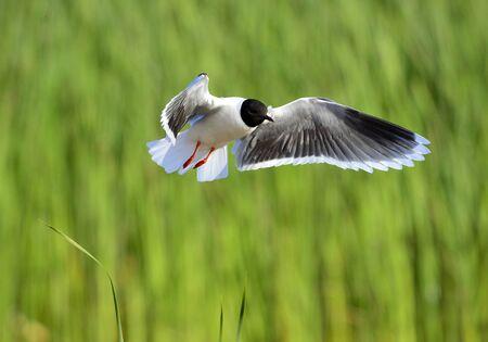 larus ridibundus: A Black headed Gull on flying  Larus ridibundus  Stock Photo