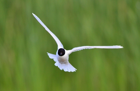 ridibundus:  Black-headed Gull  Larus ridibundus  in flight on the green grass background