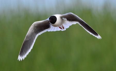 ridibundus: Black-headed Gull  Larus ridibundus  in flight on the green grass background  Front
