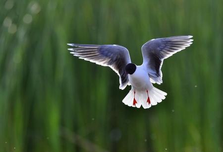 ridibundus: Black-headed Gull (Larus ridibundus) in flight on the green grass background. A flying seagull, looks a bit like an angel.