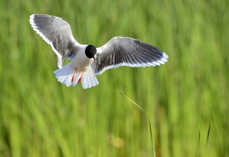 ridibundus: A Black headed Gull on flying. (Larus ridibundus)