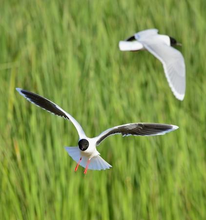 larus ridibundus: A Black headed Gull on flying. (Larus ridibundus)