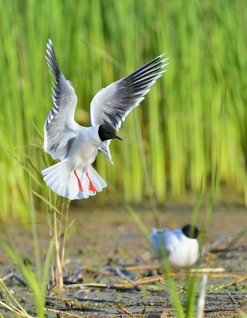larus ridibundus: Black-headed Gull (Larus ridibundus) in flight on the green grass background. A flying seagull, looks a bit like an angel.
