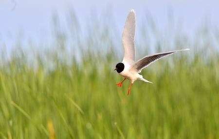 Black-headed Gull (Larus ridibundus) in flight on the green grass background photo