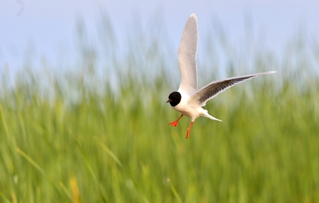 larus ridibundus: Black-headed Gull (Larus ridibundus) in flight on the green grass background Stock Photo