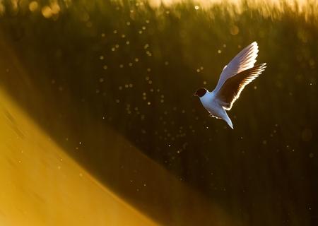 black headed: A flying black headed gull   Stock Photo