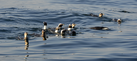 Swimming penguins. The African penguin (Spheniscus demersus), also known as the jackass penguin and black-footed penguin is a species of penguin, confined to southern African waters. photo