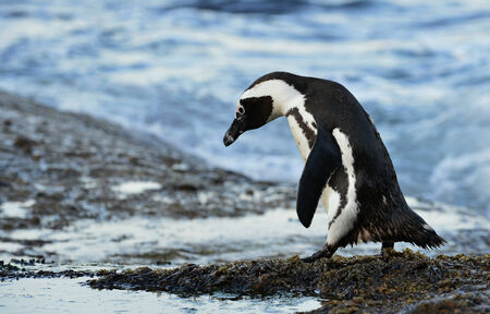 confined: Walking  African penguin (Spheniscus demersus), also known as the jackass penguin and black-footed penguin is a species of penguin, confined to southern African waters.