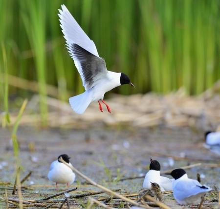 ridibundus: Black-headed Gull (Larus ridibundus) in flight on the green grass background.