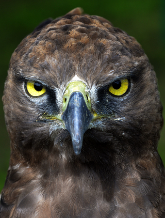 hooked up: Close-up Portrait of a martial eagle (Polemaetus bellicosus), South Africa Stock Photo