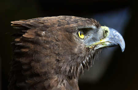 bird eating raptors: Close-up Portrait of a martial eagle (Polemaetus bellicosus), South Africa Stock Photo