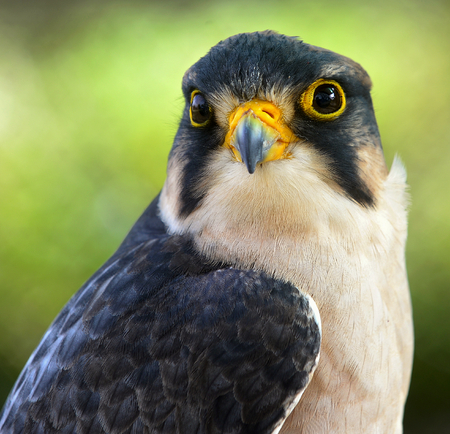 lanner: Close up  Portrait of Lanner falcon (Falco biarmicus) Stock Photo