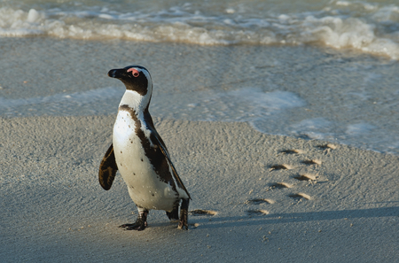 penguin colony: Walking African penguin (spheniscus demersus) with footprint on the sand. Boulders colony in Cape Town, South Africa. Stock Photo