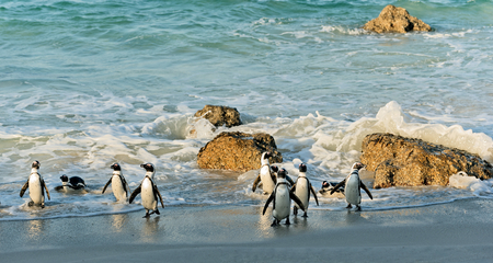penguin colony: African penguins (spheniscus demersus). Western Cape, South Africa , South Africa