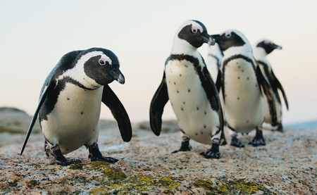 African penguins (spheniscus demersus). Western Cape, South Africa , South Africa